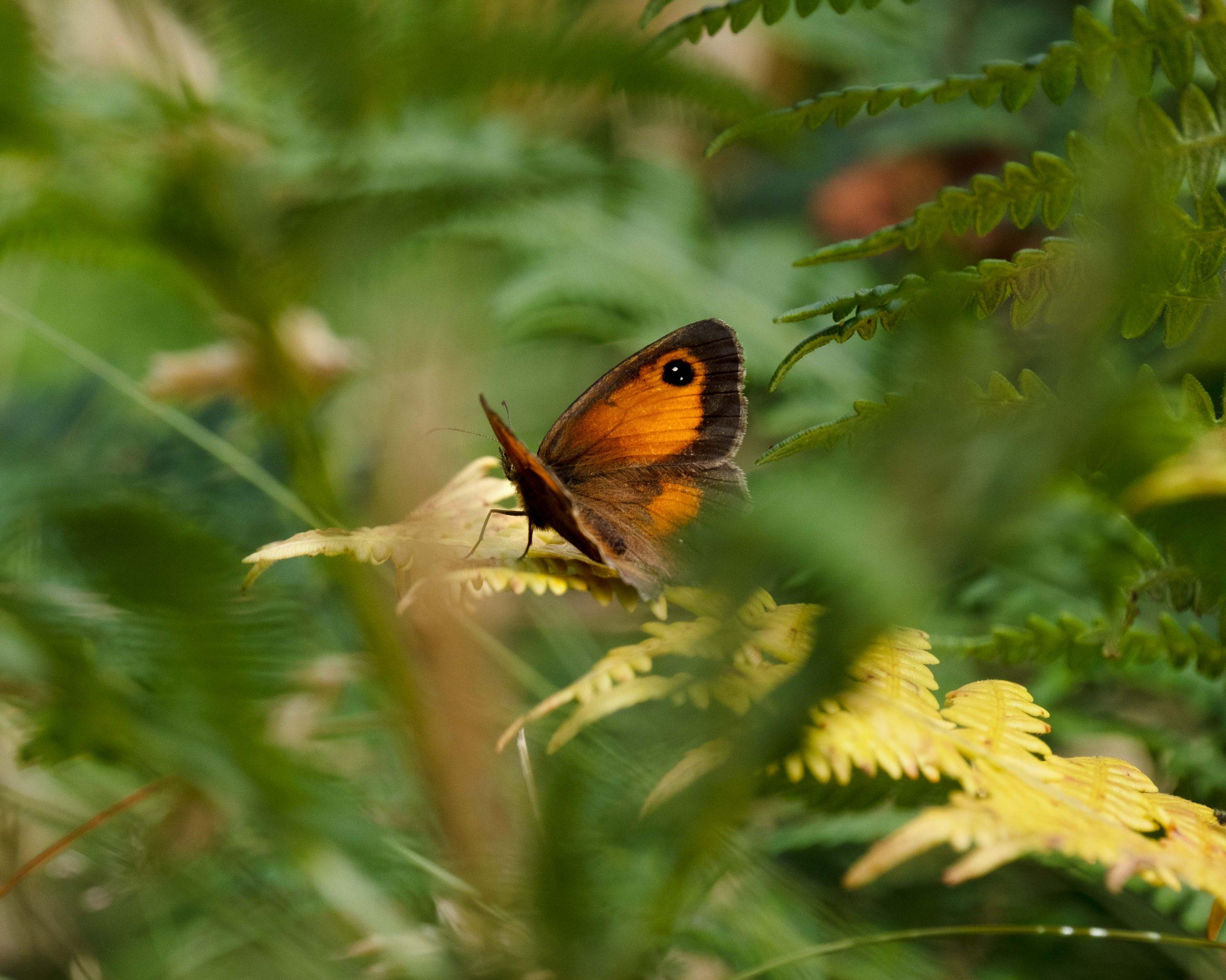 Gatekeeper Butterfly Cornwall
